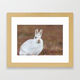 Cute white mountain hare Framed Art Print