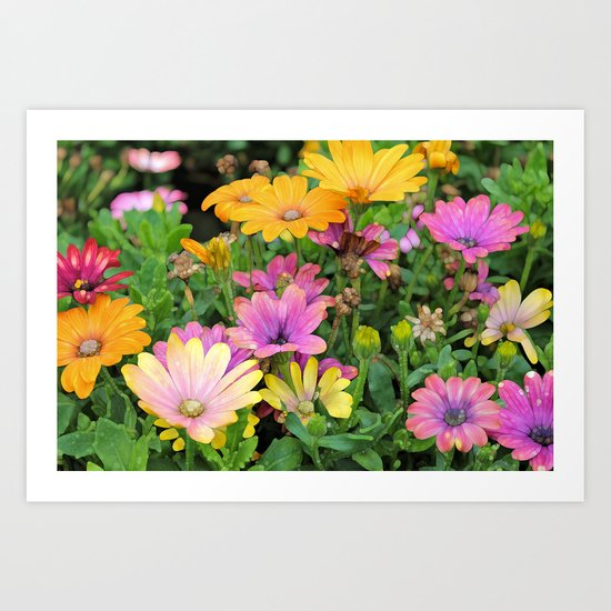 Colorful Spanish Daisies Art Print