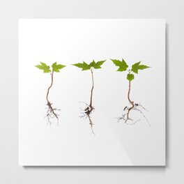 Maple Saplings Metal Print