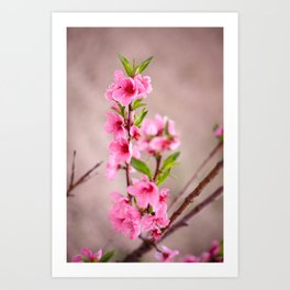 An early Spring blossom Art Print
