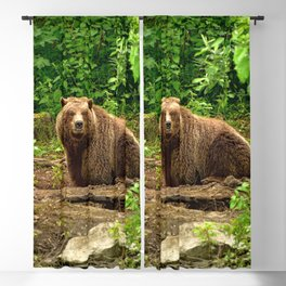 Awe Inspiring Giant Adult Grizzly Bear Observing Photographer In Green Pasture Ultra HD Blackout Curtain