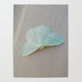 Pale Green Moth Poster
