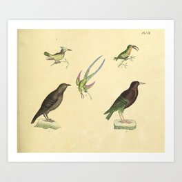 068 trochilus cristatus Purple throated Carib trochilus forficatus Common Raven corvus oromia10 Art Print