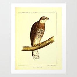012 buteo swainsonii 29 Art Print