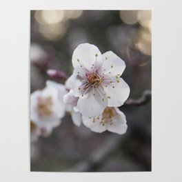 The Early Cherry Blossom Poster