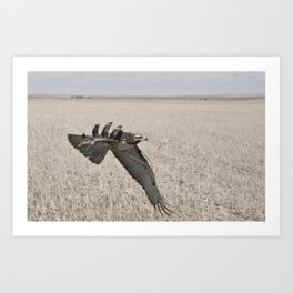 Swainson's Hawk Art Print