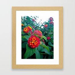 Lantana camara in red Framed Art Print