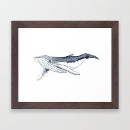 Baby humpback whale (Megaptera novaeangliae) Framed Art Print