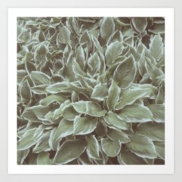Green Leaves Plant, Hosta Art Print