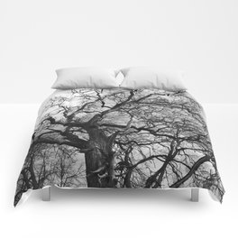 Old oak tree. Moscow district. Comforters