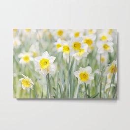 White and yellow daffodils Metal Print