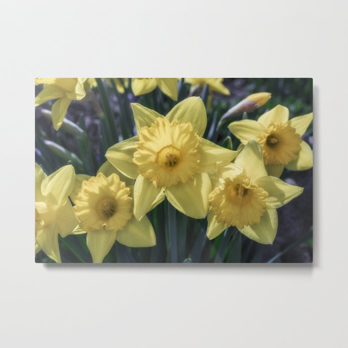 Spring time Daffodils Metal Print