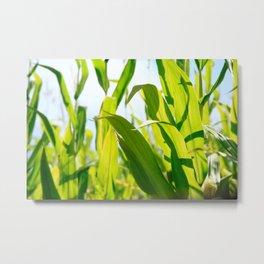 Corn leaves Metal Print