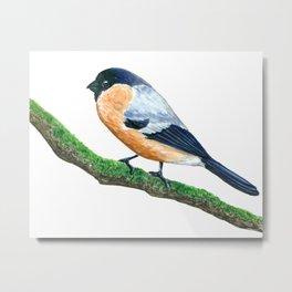 Bullfinch bird Metal Print