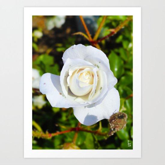 White Rose I Art Print