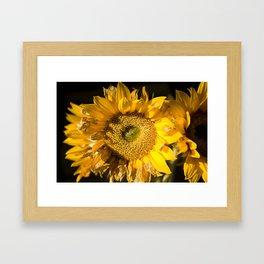 sunkissed sunflower Framed Art Print