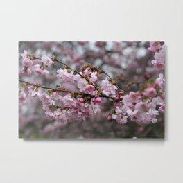 cheery blossoms Metal Print