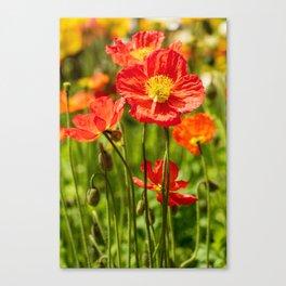 Close up of an orange poppy flower Canvas Print