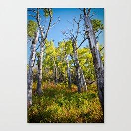 Birch in Fall Canvas Print