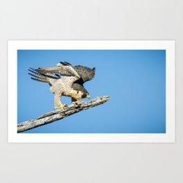 Peregrine Falcon Eyeing Prey Art Print