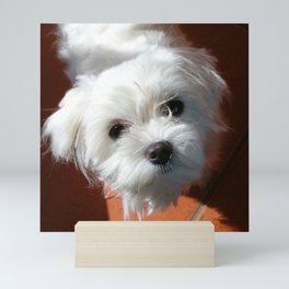 Cute Maltese asking for a treat Mini Art Print