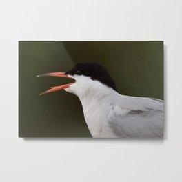 Common Tern Call - Petit Manan Island Metal Print
