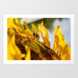 Bumble bee in the sunflower Art Print