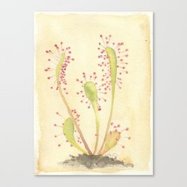 SUNDEW Canvas Print