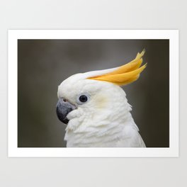 Sulfer crested cockatoo Art Print