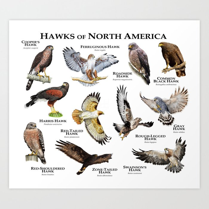 Hawks of North America Art Print
