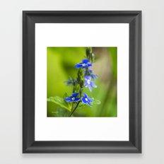 Blue Speedwell Flowers Framed Art Print