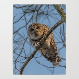 End of day Barred Owl Poster