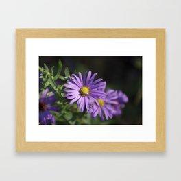 Lovely lavender aster Framed Art Print