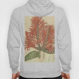 Aphelandra tetragona, Acanthaceae Hoody