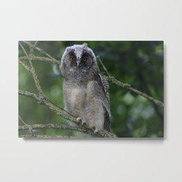 Young long-eared owl Metal Print