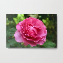 Queen Elizabeth Rose Metal Print