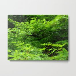Japanese Maple Young Green Leaves and Raindrops Photography Metal Print