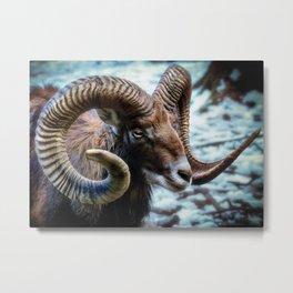 Mammal Mouflon Sheep Metal Print