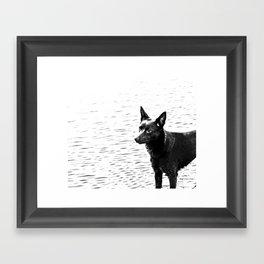 Australian kelpie, Australian sheep dog Framed Art Print