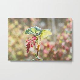 Flowering Currant Metal Print
