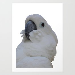 Ruffled Feathers Of A Blue Eyed Cockatoo Isolated Art Print