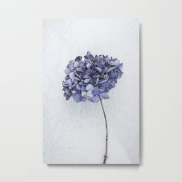 Dried Blue Hydrangea Metal Print
