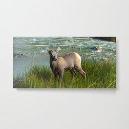 Baby big horn sheep in Jasper National Park Metal Print