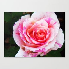 Red white Rose Close up Canvas Print