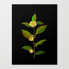 Mary Delany Botanical Vintage Floral Collage Thea Viridis Canvas Print