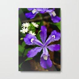 Dwarf Iris Botanical Art, Fine Art Print, Purple Flower Metal Print