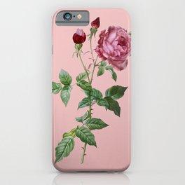 Vintage Blooming Provence Rose Botanical Illustration on Pink iPhone Case