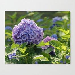 Hydrangea in Bloom Canvas Print