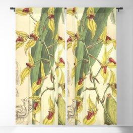 Sunipia dichroma (as Bulbophyllum dichromum) Curtis' 133 (Ser. 4 no. 3) pl. 8160 (1907) Blackout Curtain