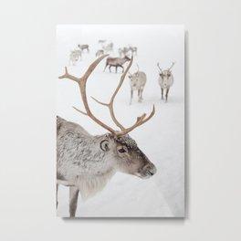 Reindeer With Antlers Art Print | Tromsø Norway Animal Snow Photo | Arctic Winter Travel Photography Metal Print